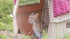 Bobcat in crate