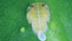 citric nymph