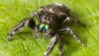 jumping spiders