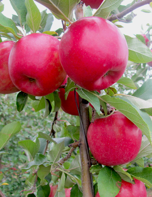 Snap Dragon apples