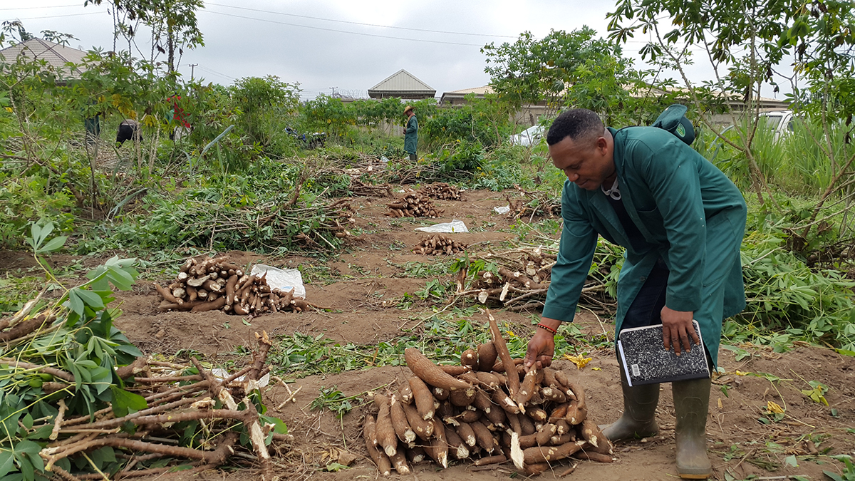 Cassava farm in Nigeria