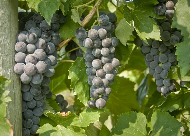 everest seedless grapes