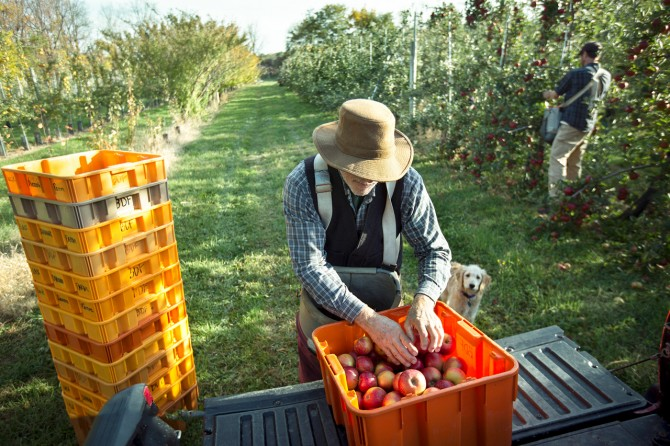 Ian Merwin harvest apples at his Trumansburg orchard