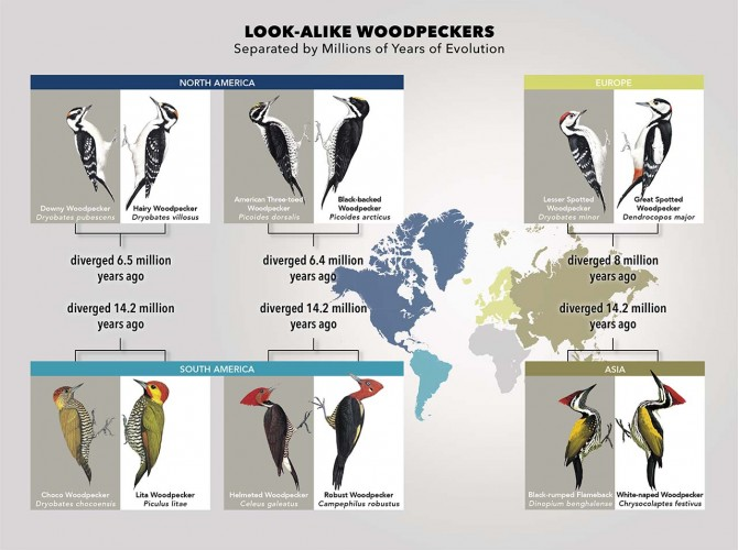 Look-Alike woodpeckers