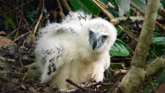 eaglet chick