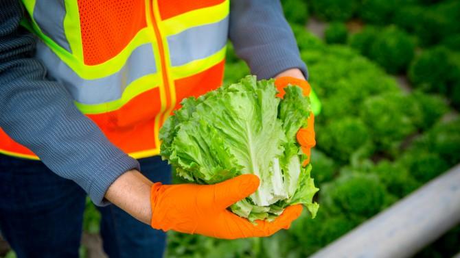 farm worker holding lettuce