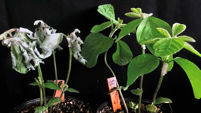 pheromone plants