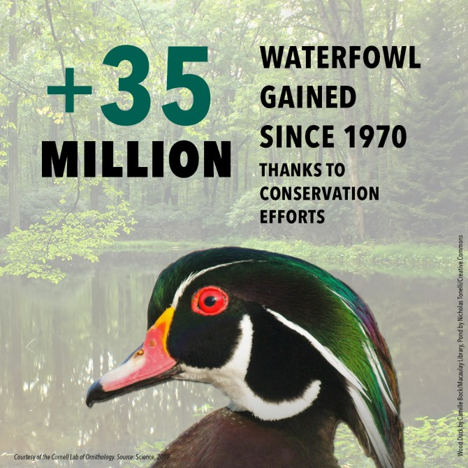 Graphic Showing Increase of 35M Waterfowl since 1970