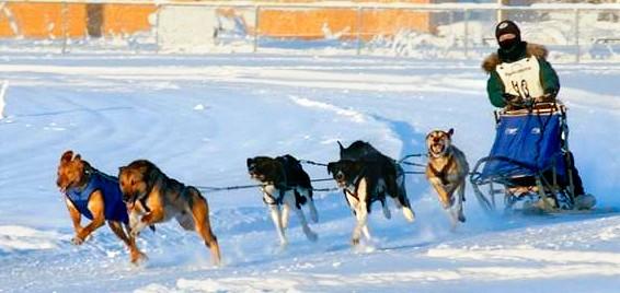 Huson racing sled dogs