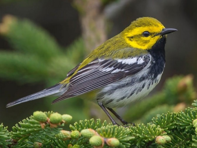 a male black-throated green warbler