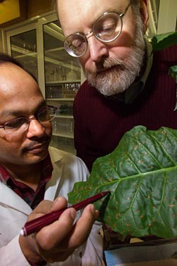 BTI researchers Dhirendra Kumar, pointing to infected leaf cells, and Daniel F. Klessig, at right