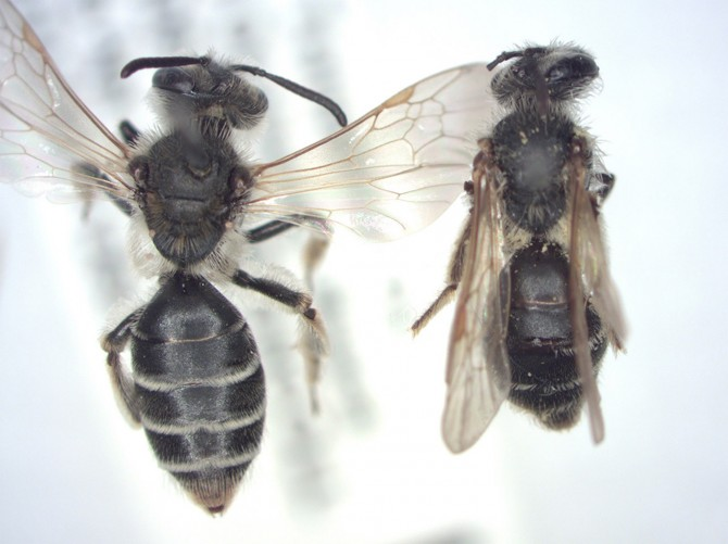 ground bees