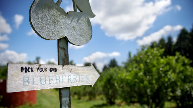 Pick your own blueberry sign