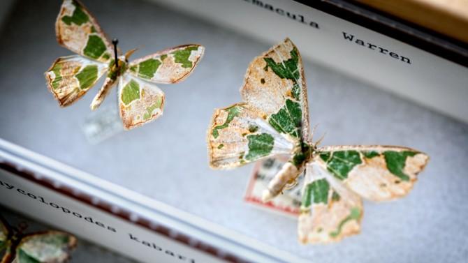 Archichlora viridimacula, the Embellished Emerald moth