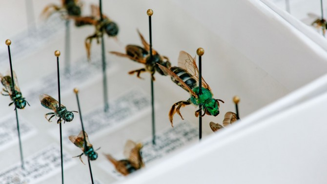 A tray of undetermined species of Halictidae sweat bees.