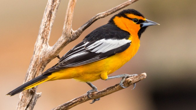The Bullock's oriole.