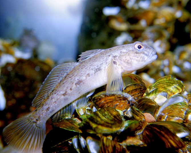 Round Goby fish