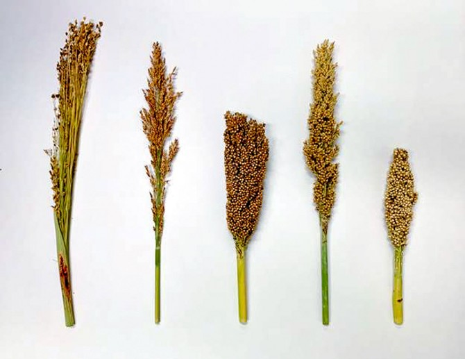 different sorghum races