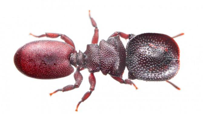 turtle ant