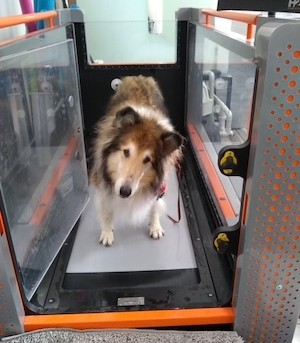 A rough collie stands in an empty water treadmill at Cornell