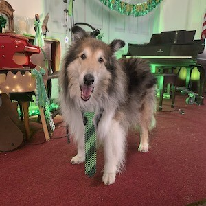 A rough collie standing in a room decorated for St. Patrick's Day