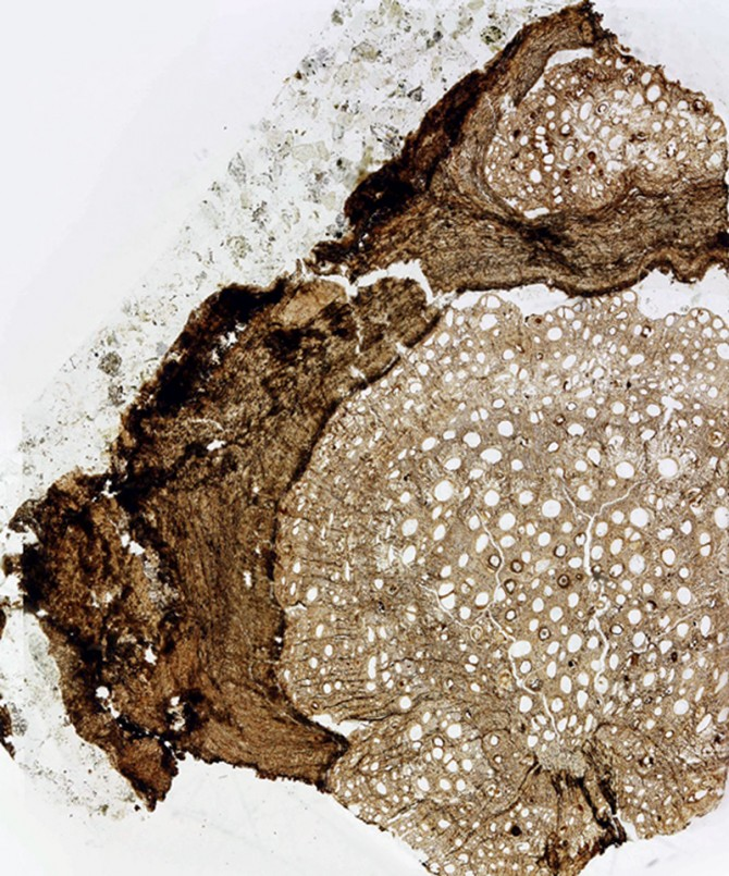 A cross-section of an 18.5 million-year-old fossil of Ampelorhiza heteroxylon.