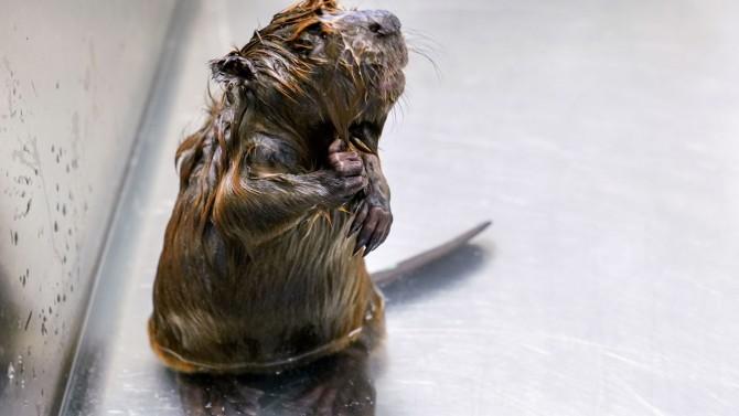 Beaver kit in a bath