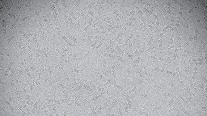 A cryo-electron microscopy image of TnsC filaments
