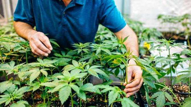 Industrial hemp plants at Cornell greenhouse