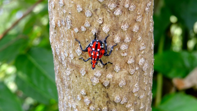 Spotted Lanternfly in fourth stage