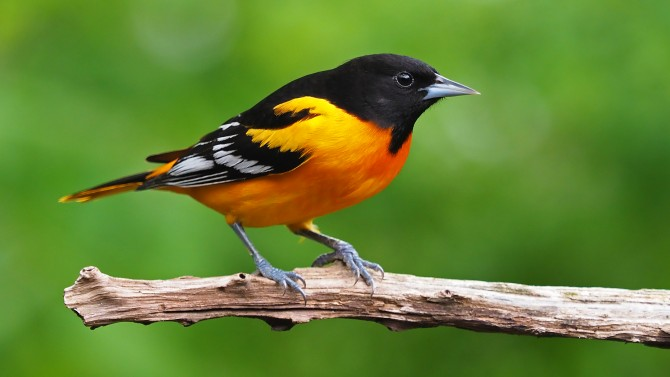 Photo of Baltimore Oriole