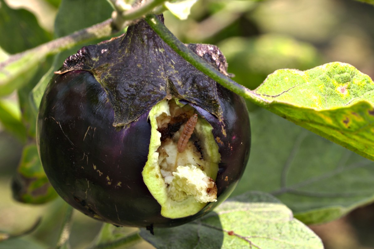 GMO eggplant crop expands in Bangladesh | Cornell Chronicle