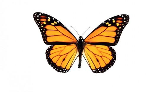 Beyond milkweed: Monarchs face habitat, nectar threats | Cornell ...