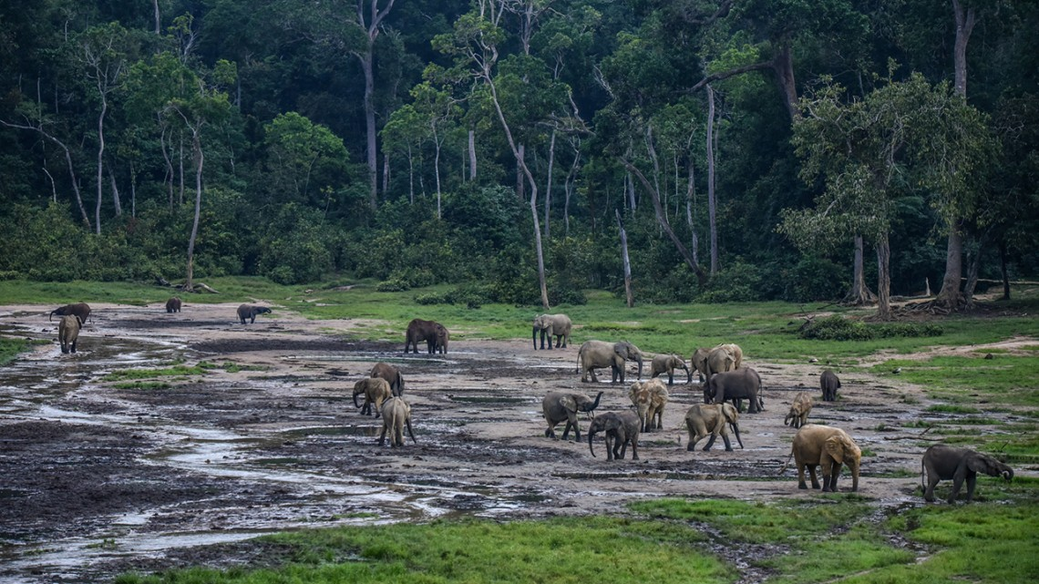 Elephants in the African forest