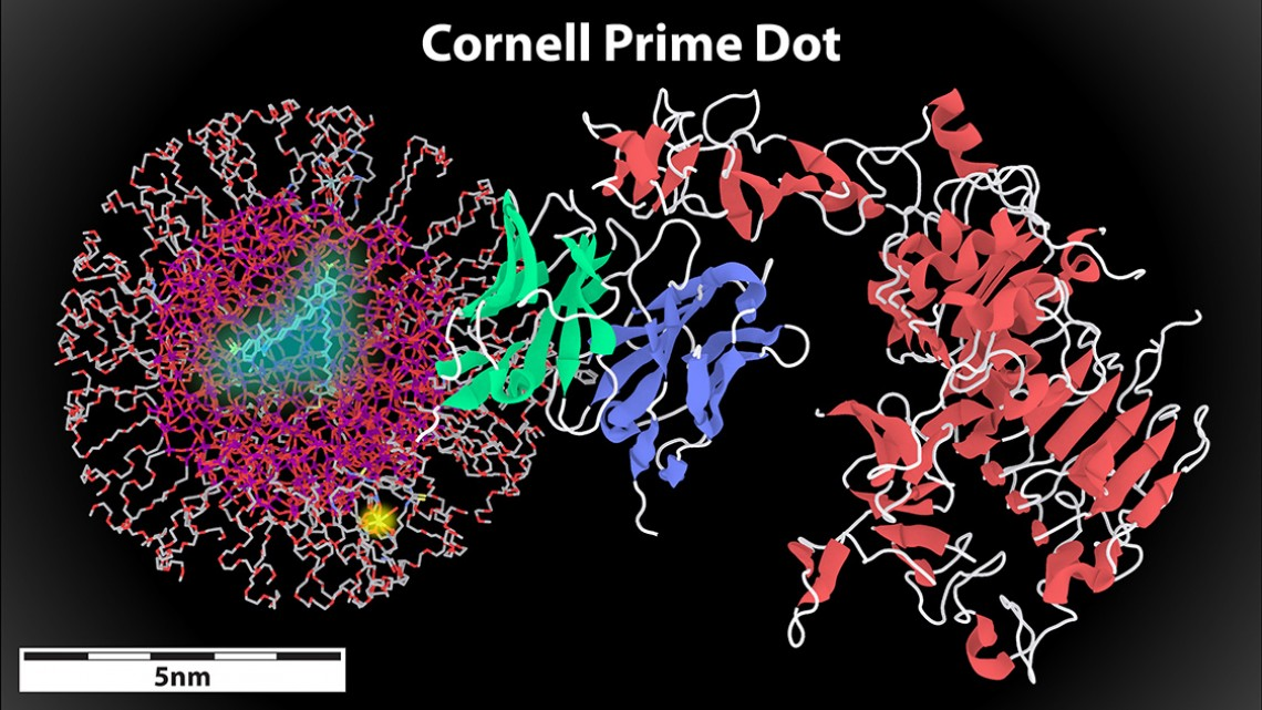 Cornell prime dot attached to antibody fragment binding to HER2 cancer cell receptor