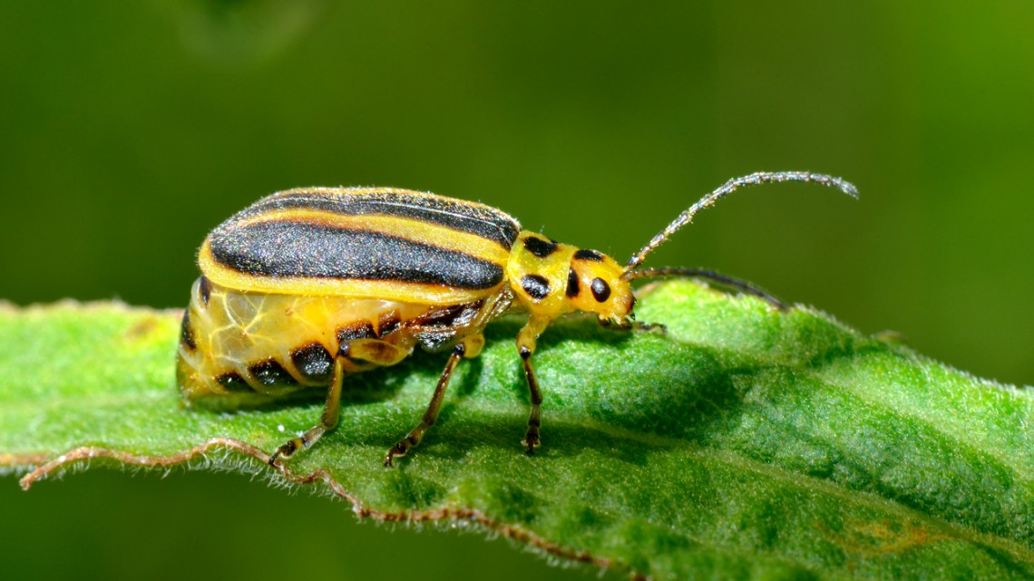 goldenrod leaf beetle