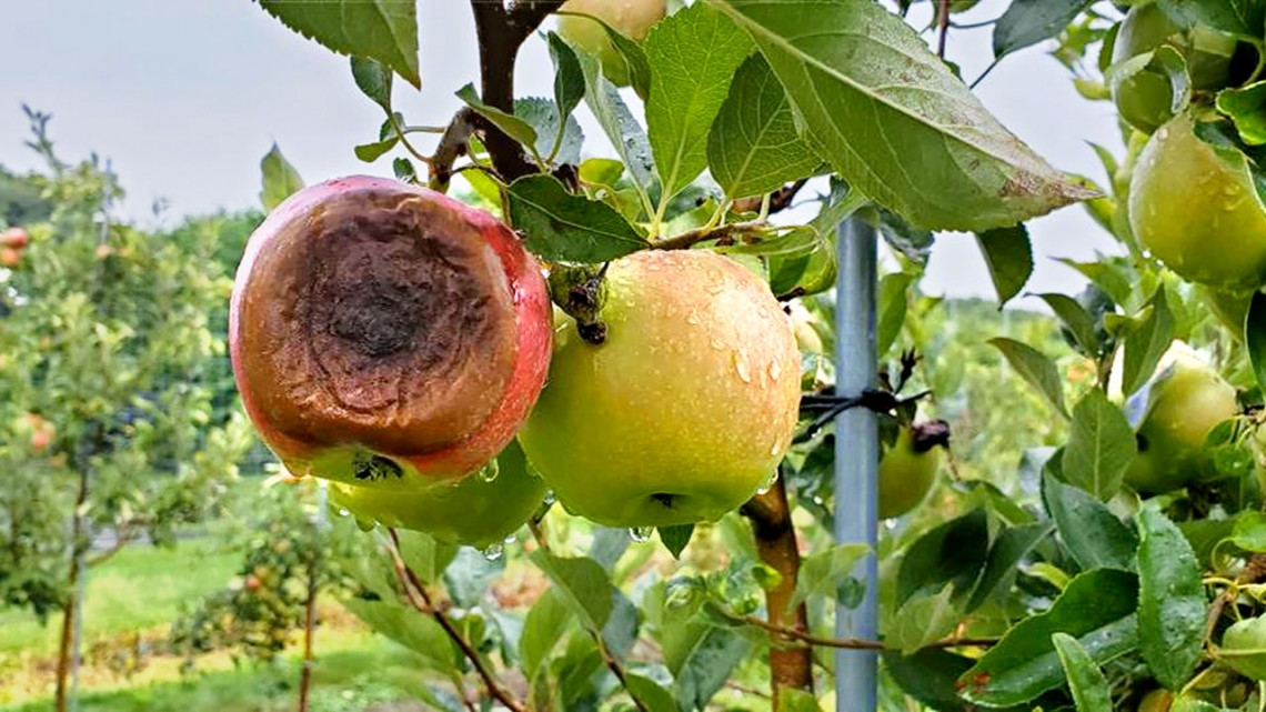 Apple with bitter rot disease, caused by a Colletotrichum fungus