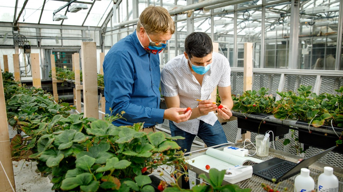 Neil Mattson working with Jonathan Allred to collect data from strawberries