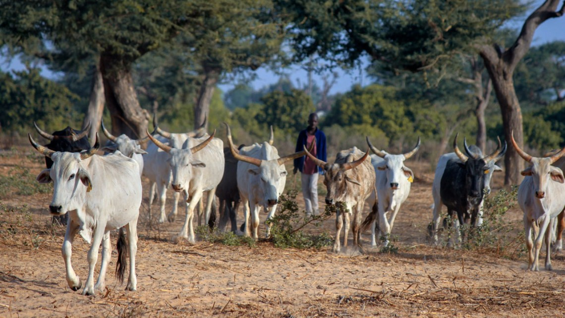Senegal herd