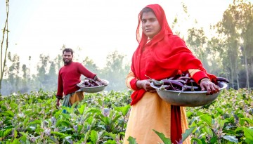 Small scale farmers in Bangladesh harvest eggplant