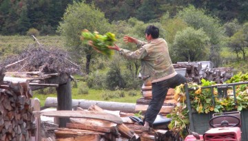 Chinese farmer throws turnip plants onto wood pile