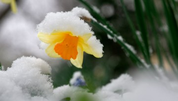 Snow clings to a daffodil during a late spring snowfall.