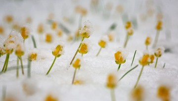 Flowers peek out from a thin blanket of spring snow.