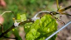 grape downy mildew