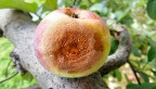 Apple with bitter rot disease